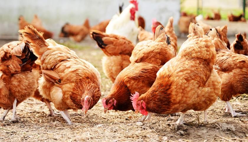 Eieren: scharrel, vrije uitloop, biologisch   Milieu Centraal